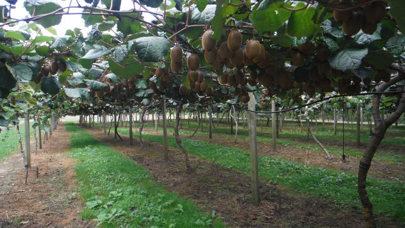 Plantación de kiwis Isla Sur Nueva Zelanda