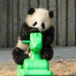 Osos panda de Chengdu