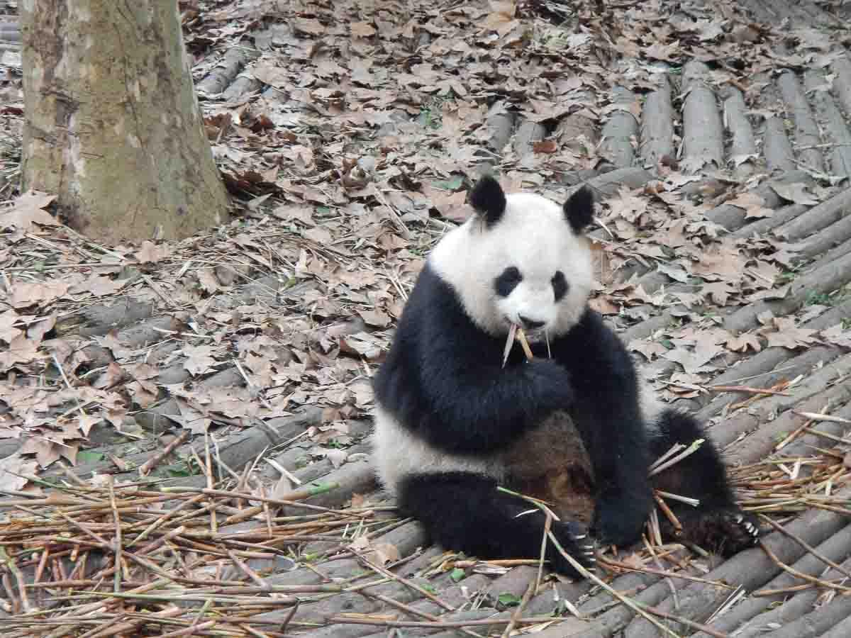 Que ver en Chengdu