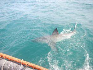 Ver tiburones en Sudáfrica