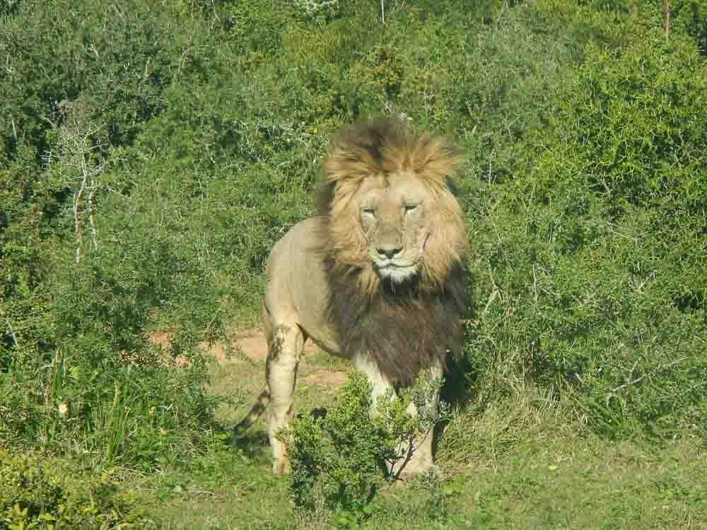 El león, el rey de la selva