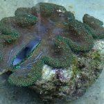 Enorme concha en Filipinas