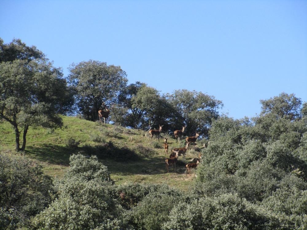 Ciervos en el Parque Natural Sierra de Andújar