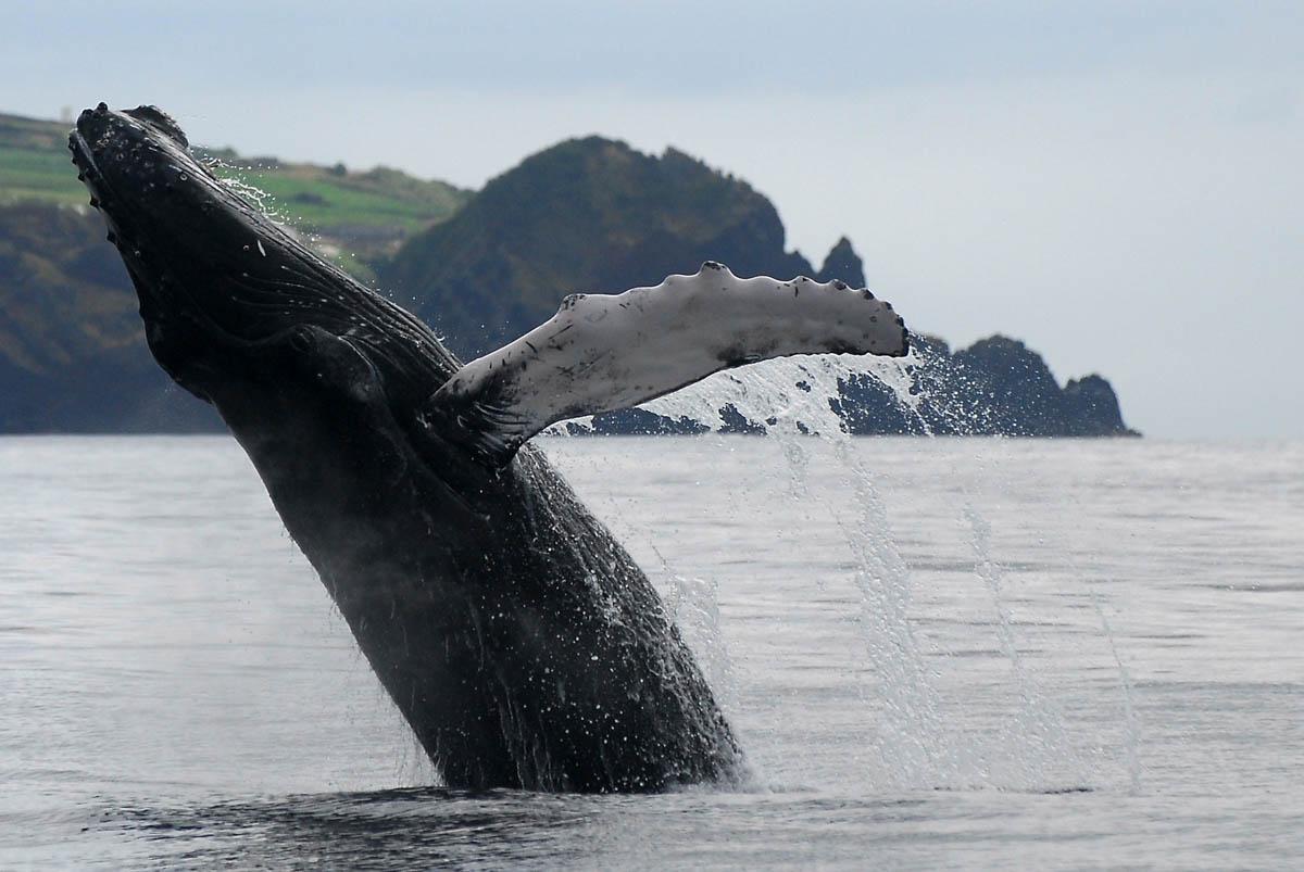 Observacion de cetaceos en Azores