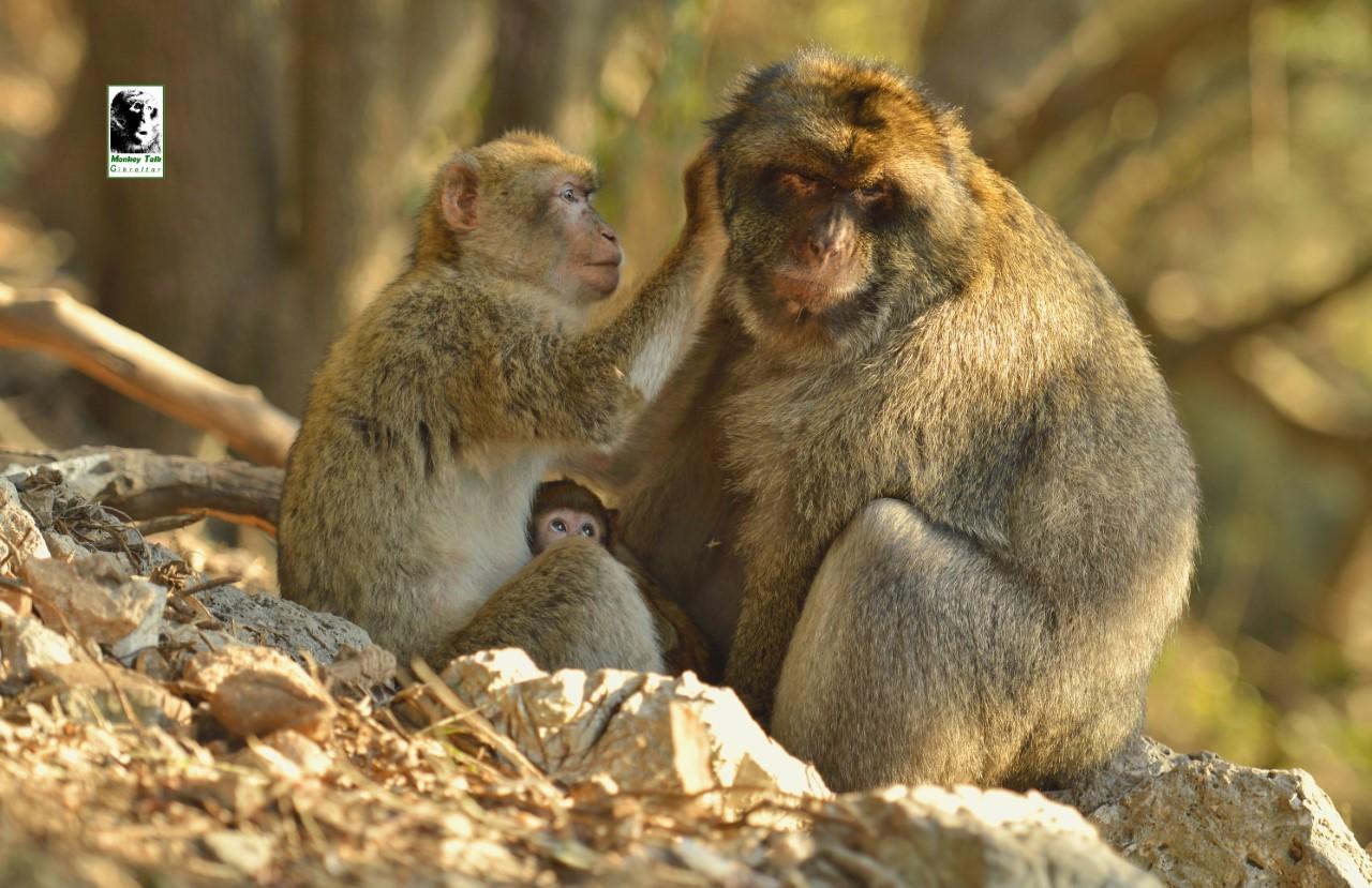 Una simpatica familia de monos en Gibraltar