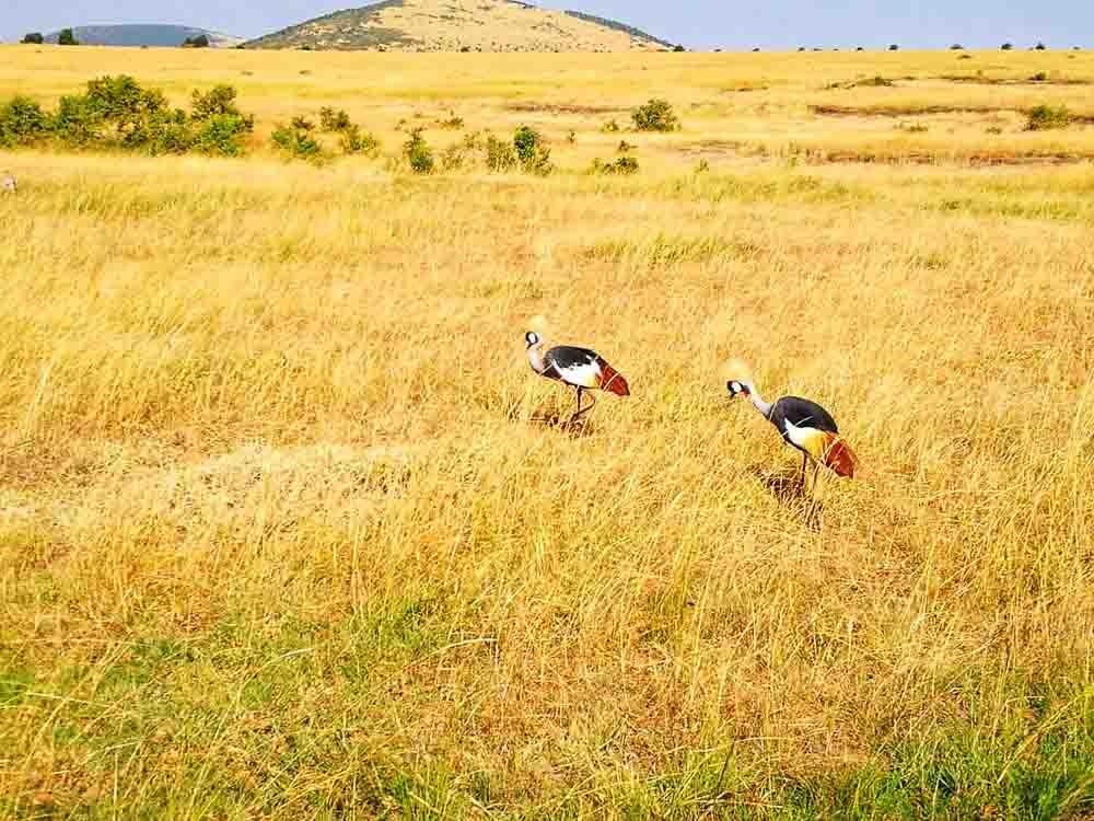 Aves en Kenia