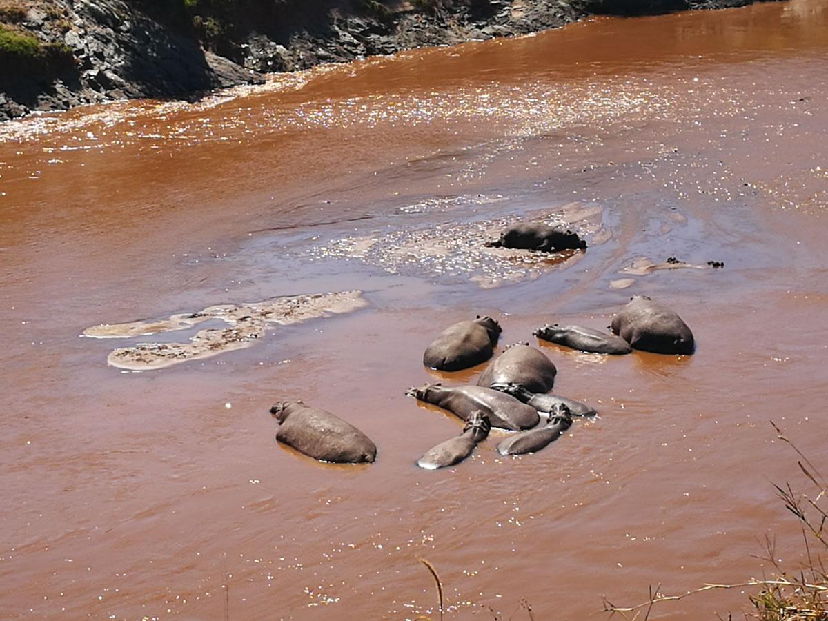 Hipopotomos en el rio