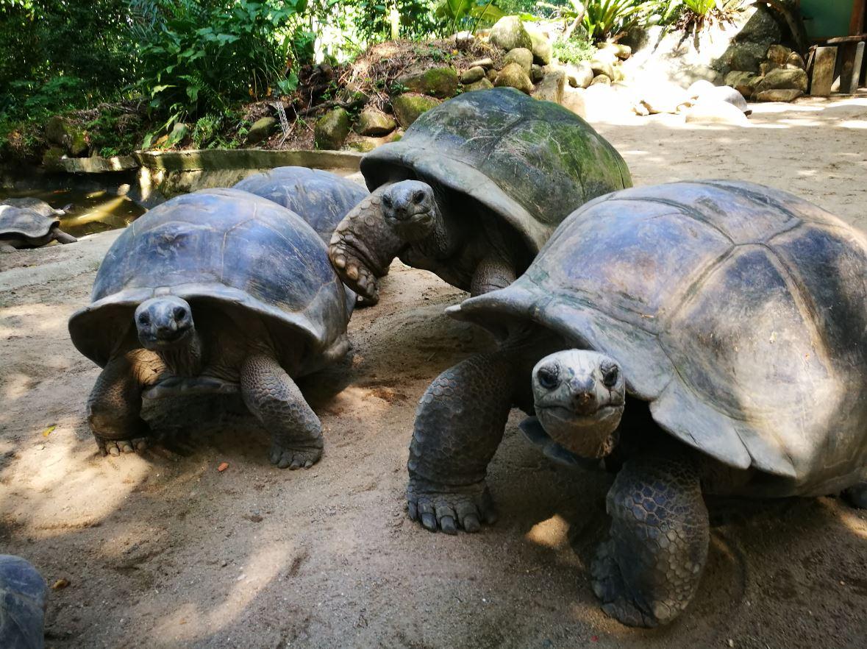 Tortugas en Seychelles