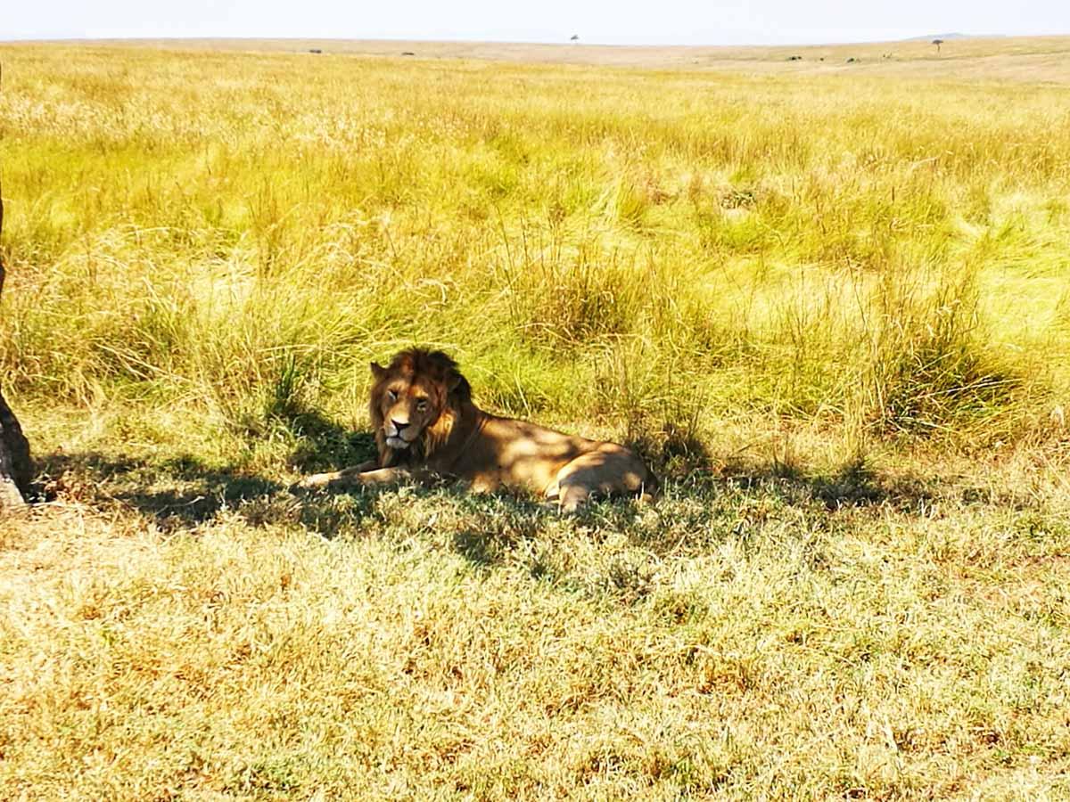El rey de la selva, el leon