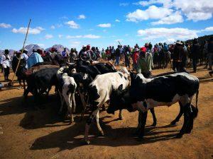 Vacas de Madagascar
