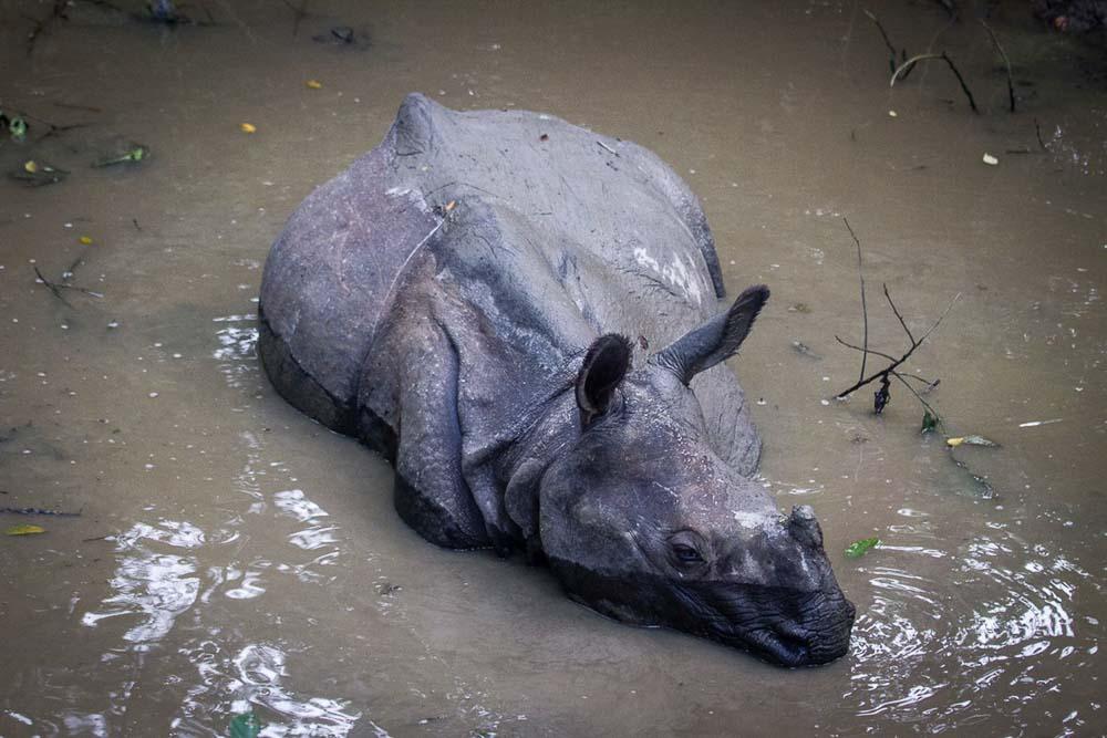 Rinoceronte en Nepal