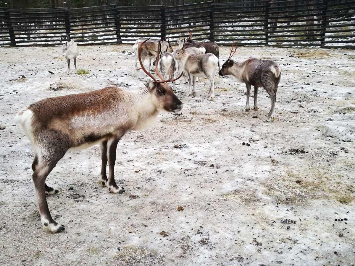 Simpaticos renos