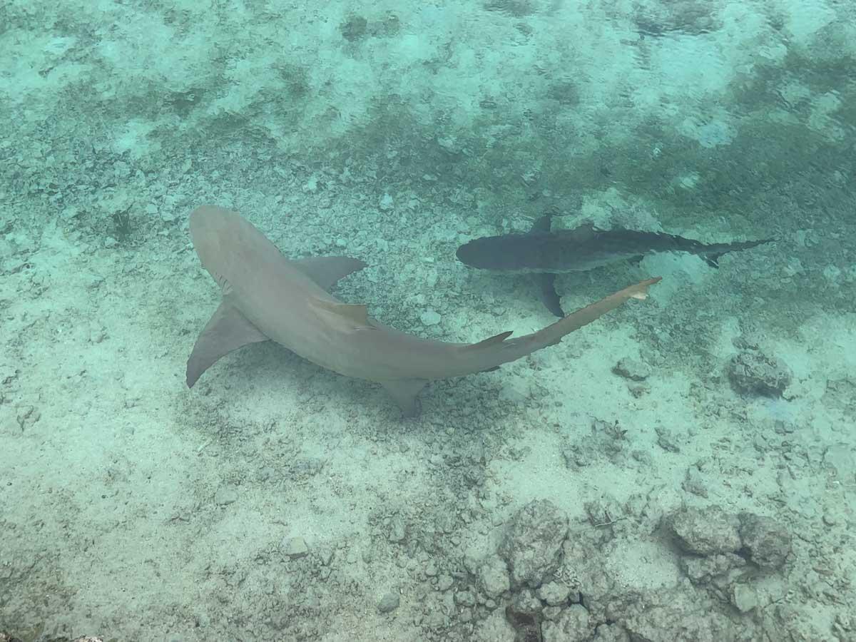 Tiburones en Vanuatu