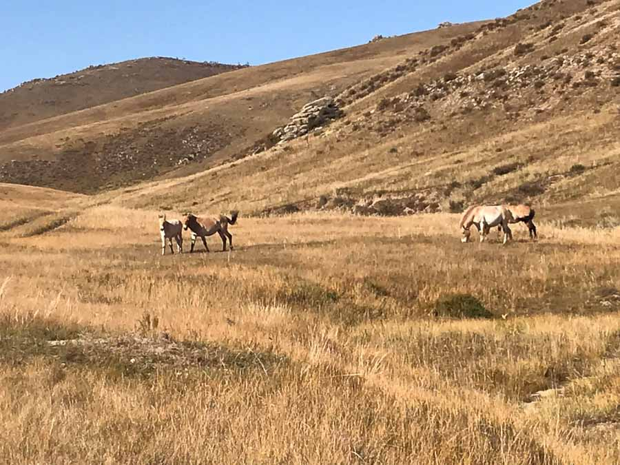 Caballos salvajes en Mongolia