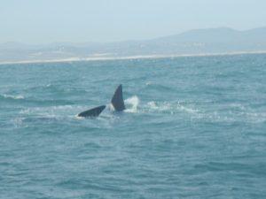 Ballenas en Sudáfrica