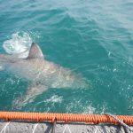 Tiburones africanos