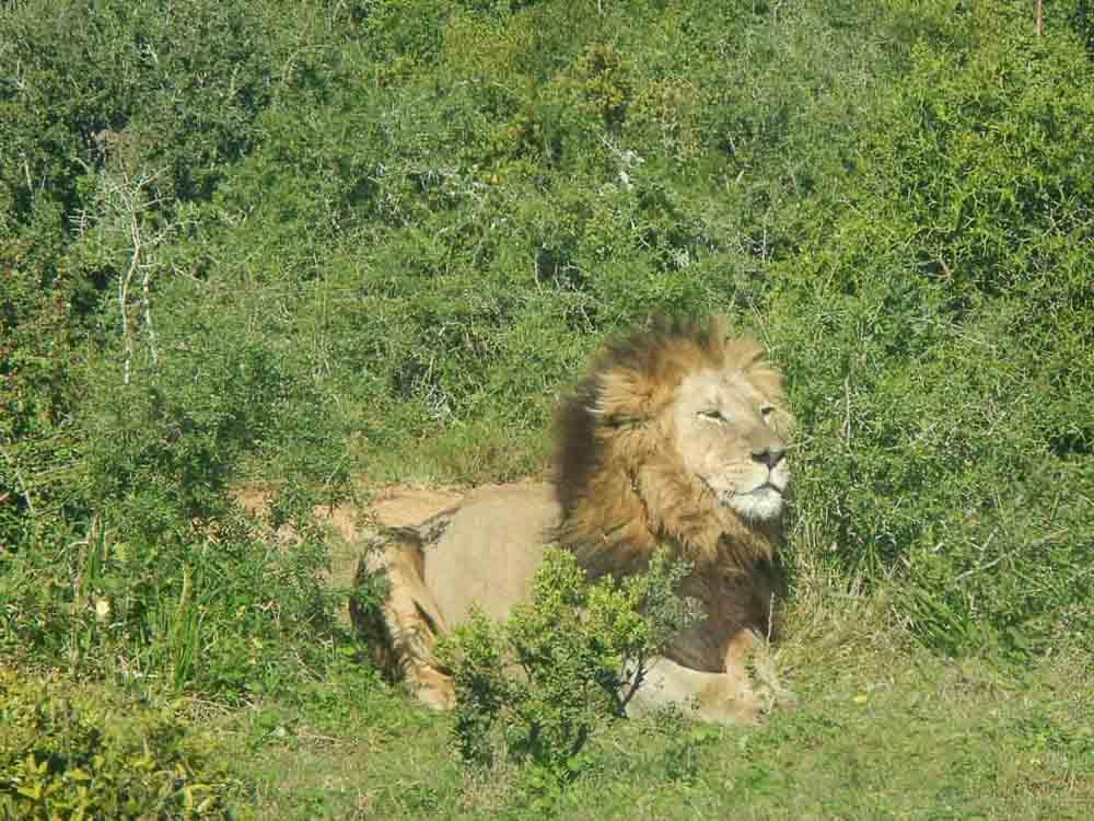 donde ver el leon en sudafrica
